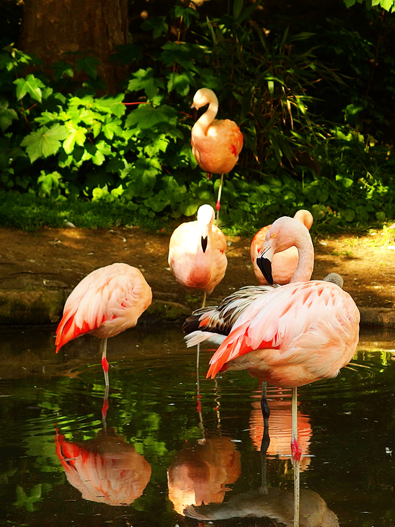 Edinburgh Zoo Nights- Flamingo