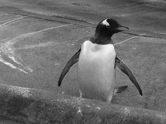 Edinburgh Zoo Nights- Gentoo Penguin