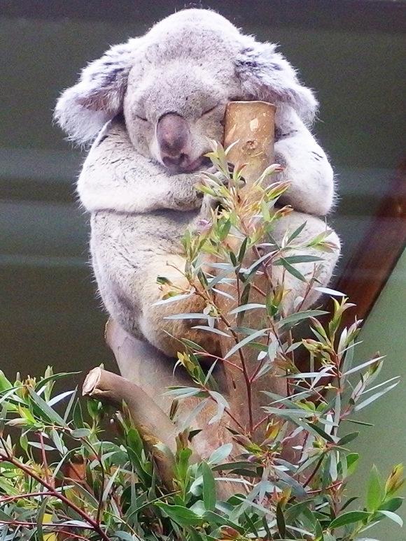 Edinburgh Zoo Nights- Koala