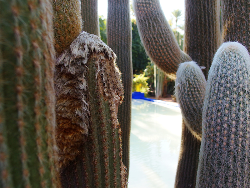 Majorelle Garden - Cacti overlooking fountain