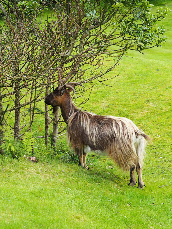 MacDonald Forest Hills Hotel & Spa- Wild Goats